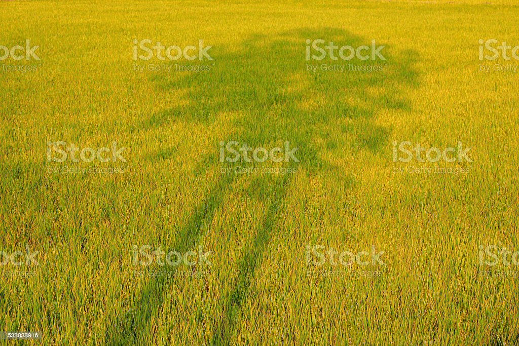 shadow of trees in the rice fields stock photo