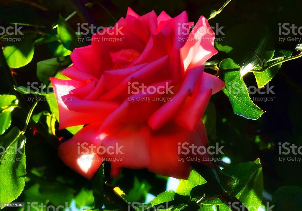Shadowed Rose stock photo