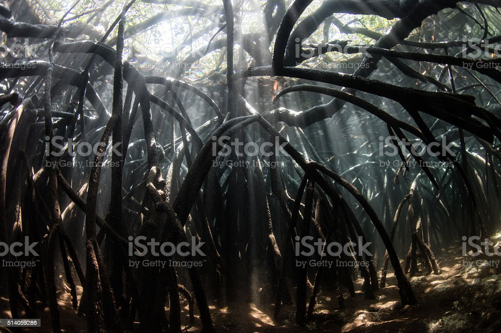Shadows and Light in Mangrove Forest stock photo