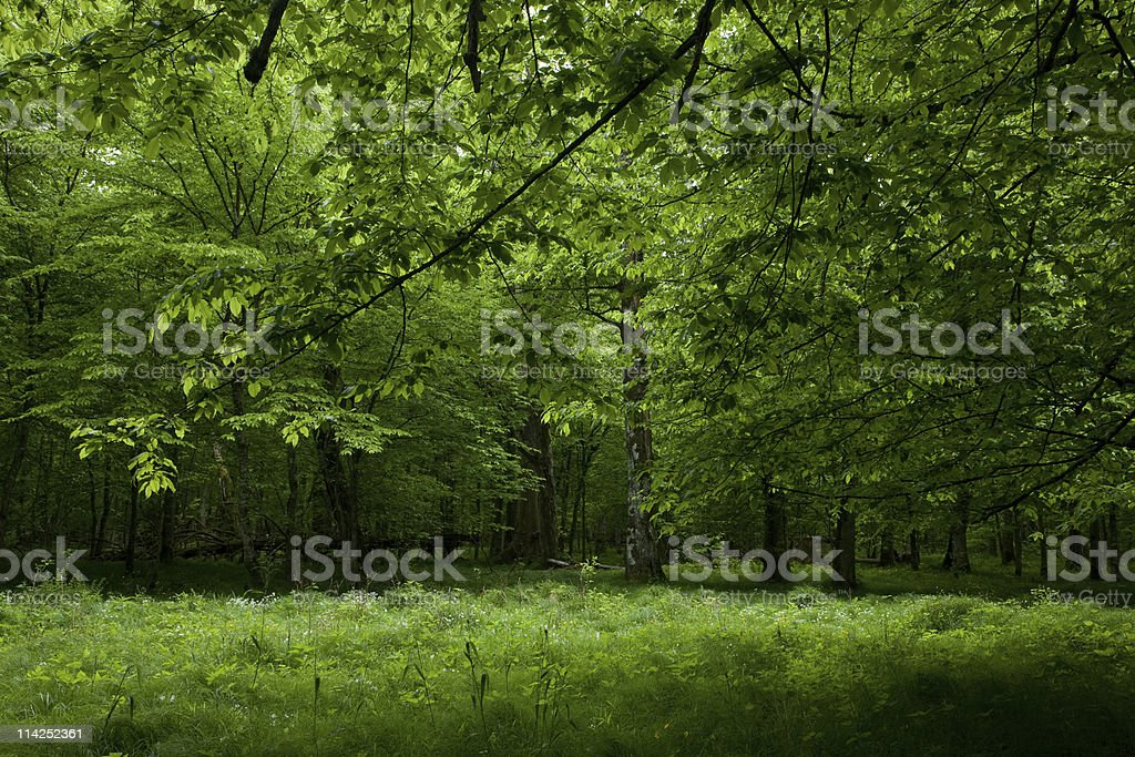 Shady deciduous stand of Bialowieza Forest in springtime royalty-free stock photo