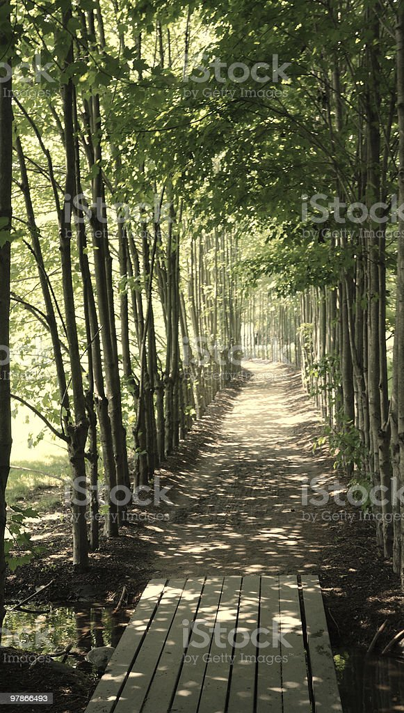 Shady path lined with young trees stock photo