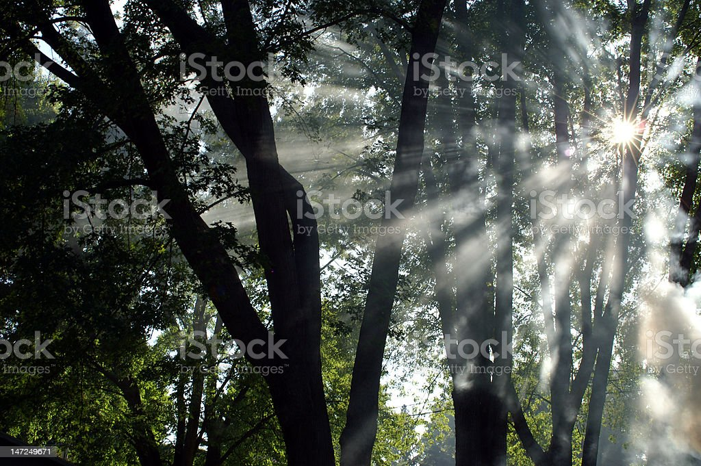 Shafts of sunlight shining through trees and fog royalty-free stock photo