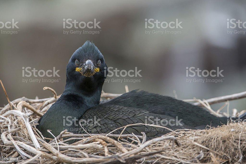 Shag on nest (Farne Islands, UK) royalty-free stock photo
