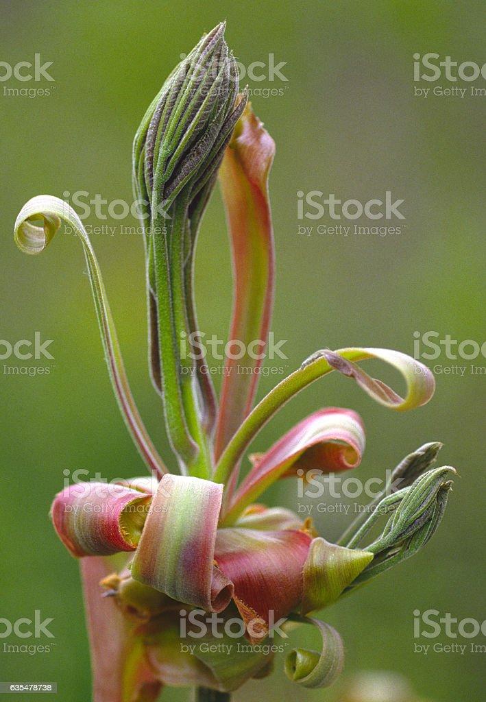 Shagbark Hickory Leaf and Flower Bud stock photo
