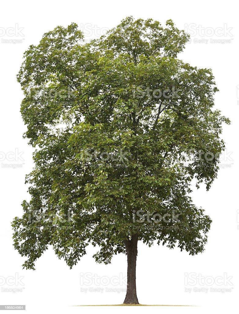 Shagbark Hickory Tree stock photo