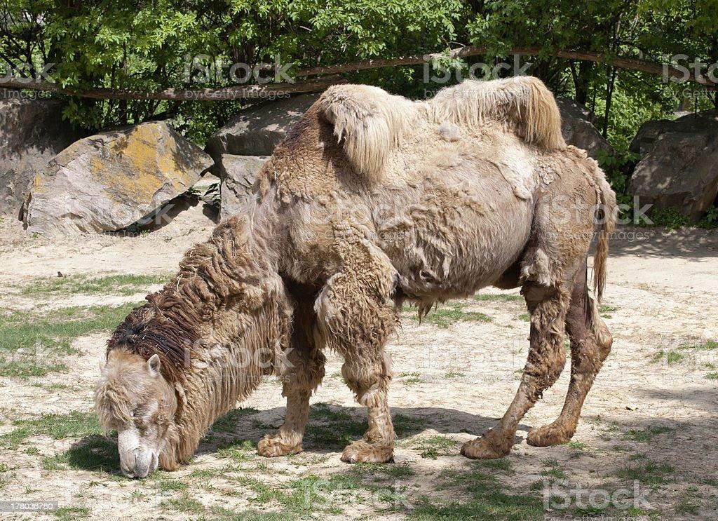 Shaggy bactrian camel royalty-free stock photo