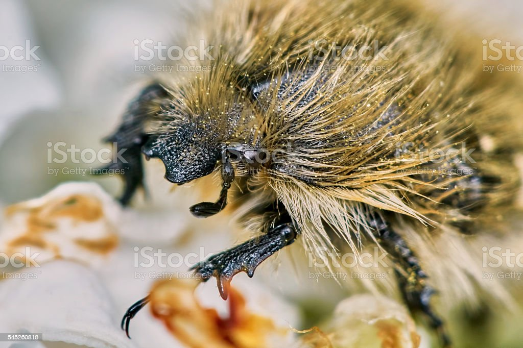 Shaggy chafer stock photo