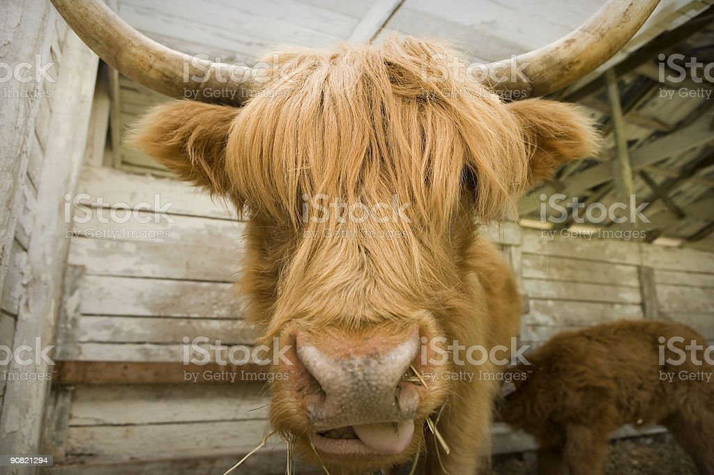 Shaggy cow stock photo