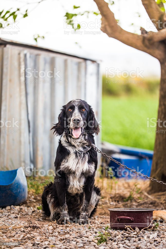 Shaggy farm dog stock photo