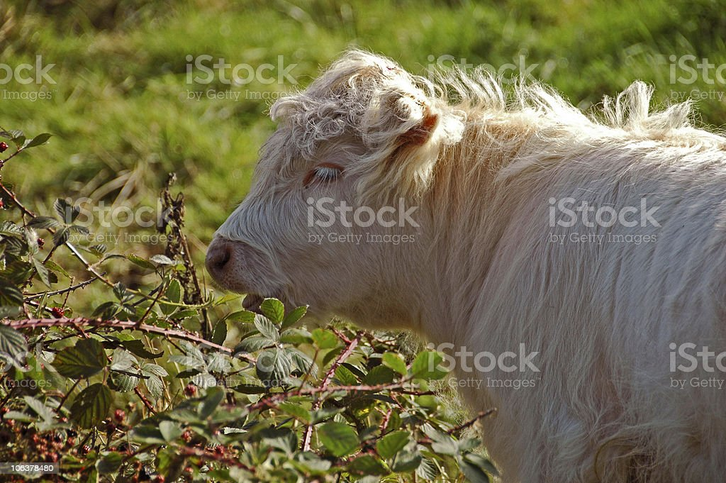 Shaggy Highland Calf stock photo