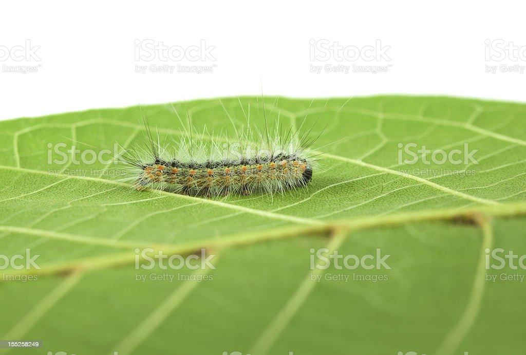 Shaggy Hyphantria cunea larva royalty-free stock photo