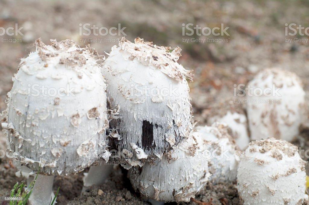 Shaggy Ink Cap (Coprinus comatus) stock photo