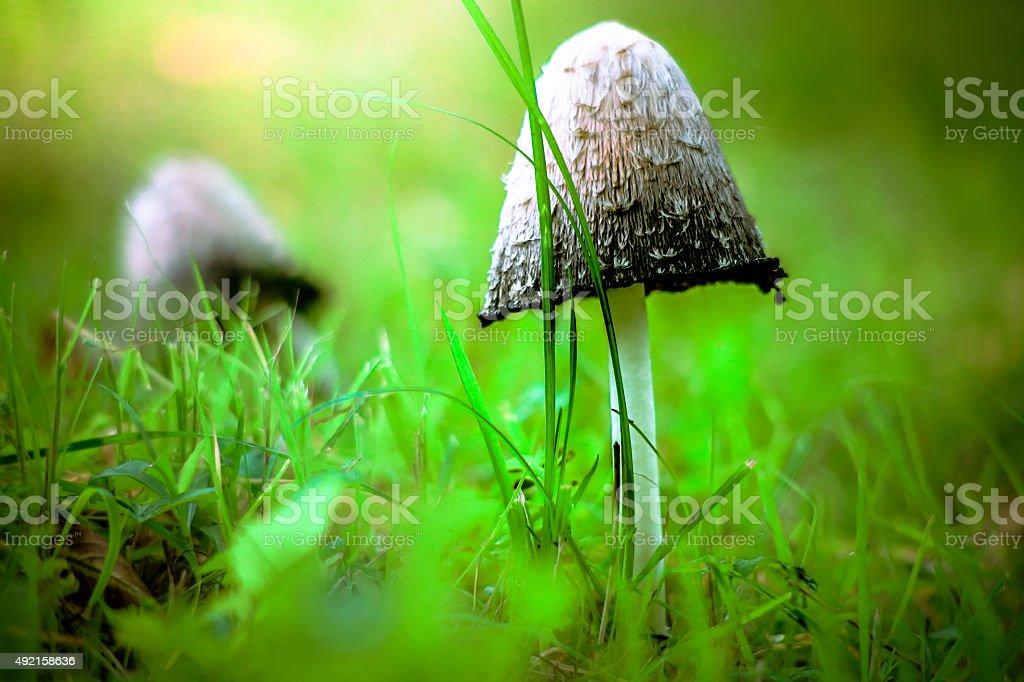 Shaggy ink caps mushrooms on grass stock photo