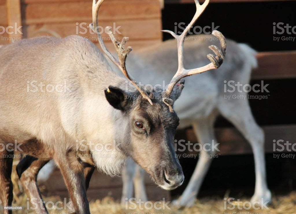 shaggy Male stag Reindeer with antlers with peeling velvet stock photo