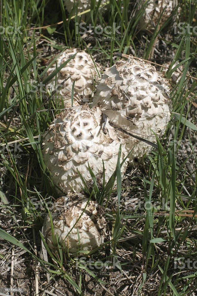 Shaggy Mane Mushrooms stock photo