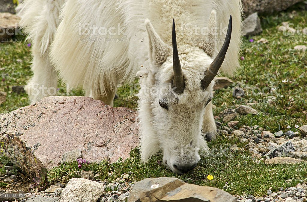 Shaggy Mountain goat on the Alpine Tundra of Colorado royalty-free stock photo