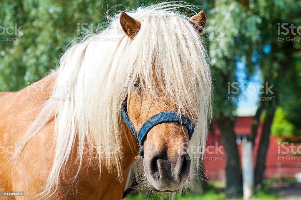 Shaggy palomino shetland pony head. Closeup summetime outdoors image. stock photo