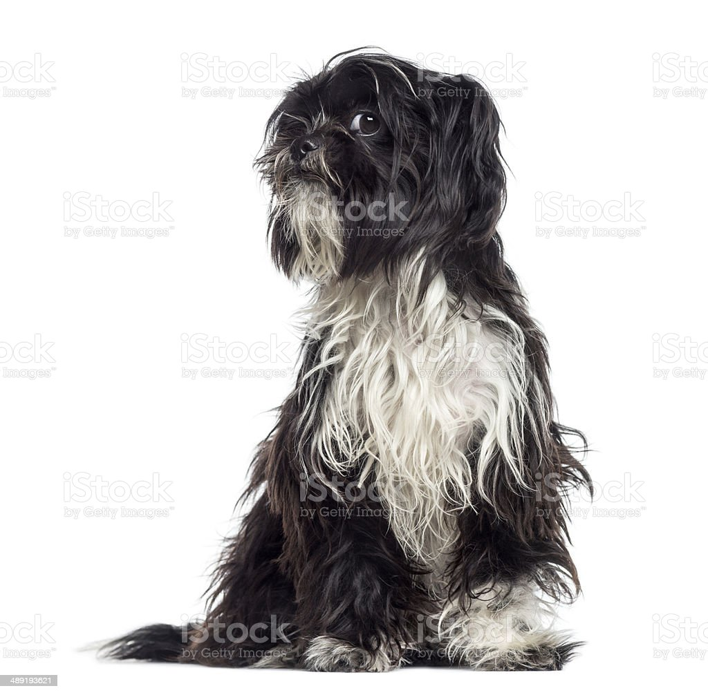 Shaggy Shih Tzu questioning (9 months old) stock photo