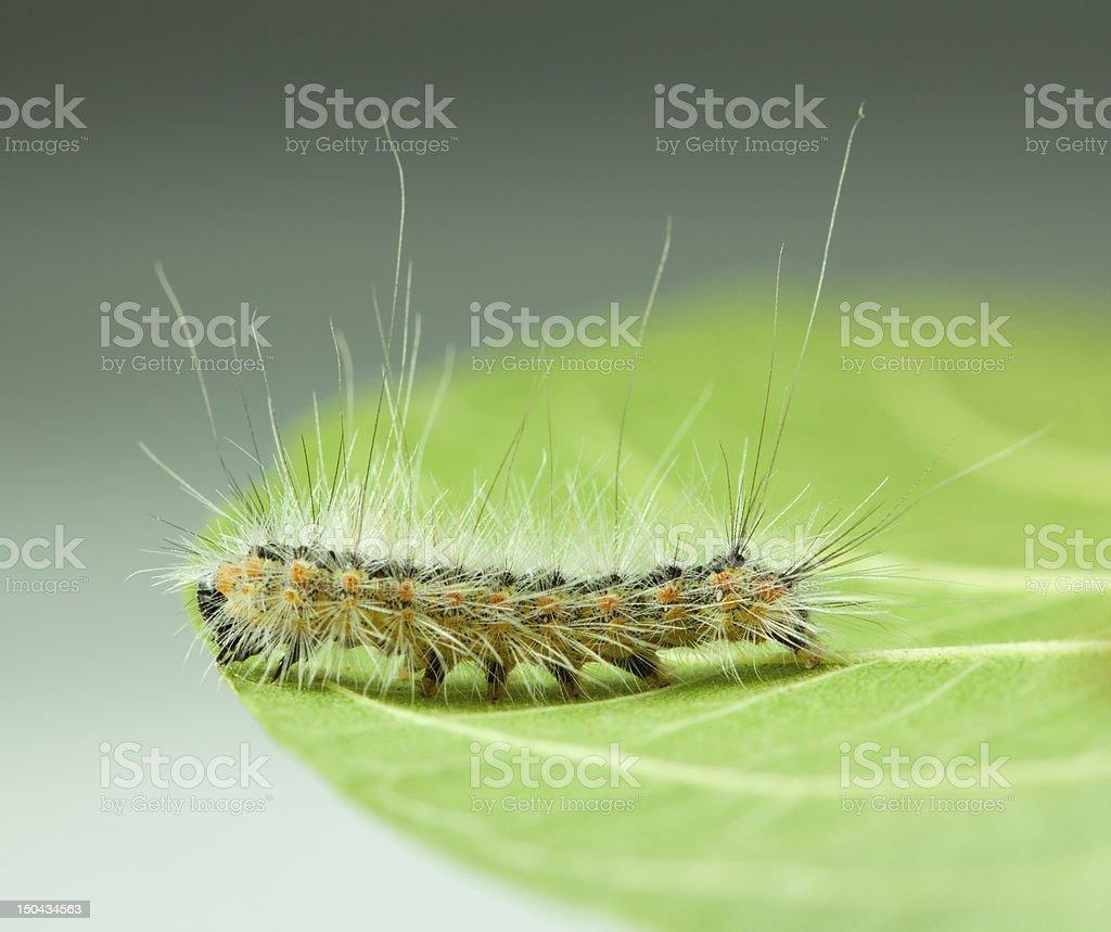 Shaggy vermin caterpillar on leaf edge royalty-free stock photo