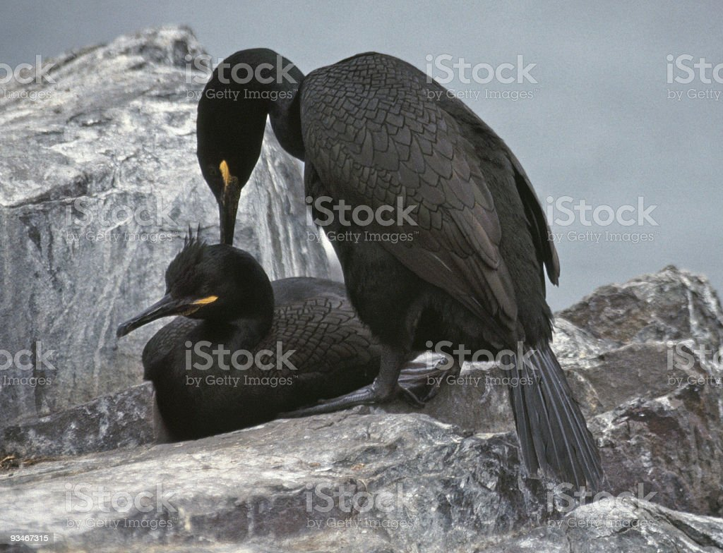 Shags about to .... well, you know! royalty-free stock photo
