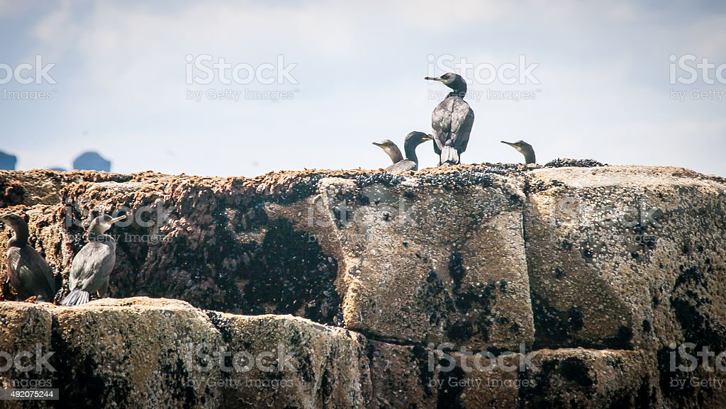 Shags stock photo