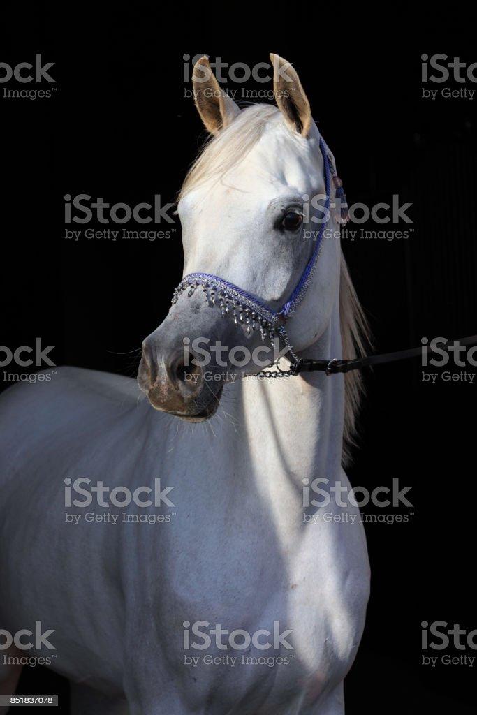 Shagya Arabian Horse Portrait stock photo