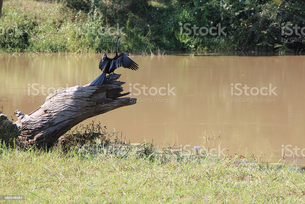 Shakebird Drying its Wings royalty-free stock photo