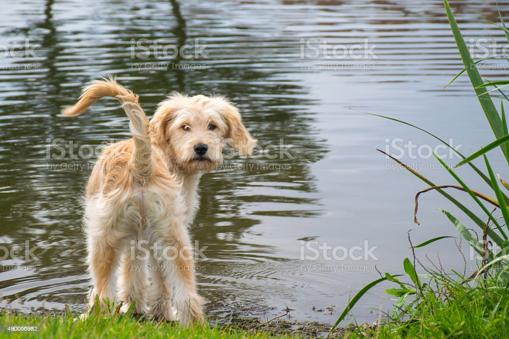 Shall I go in the water? labradoodle puppy stock photo
