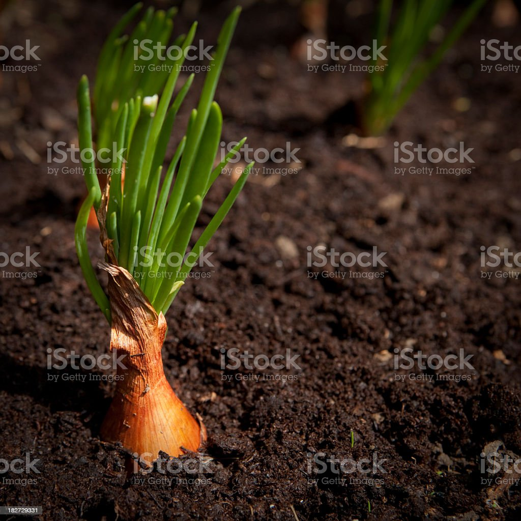 Shallot and shallot bulb growing in dark soil stock photo