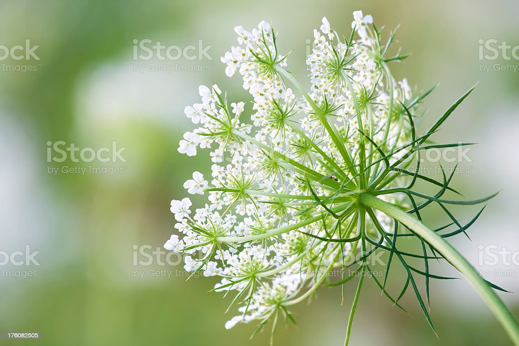 Shallow depth of field close-up shot of Queen Anne's Lace stock photo