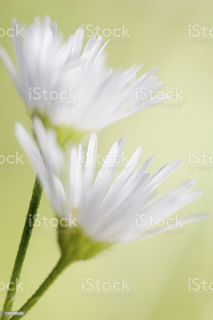 Shallow Depth of Field on Two White Daisies, Green Background royalty-free stock photo