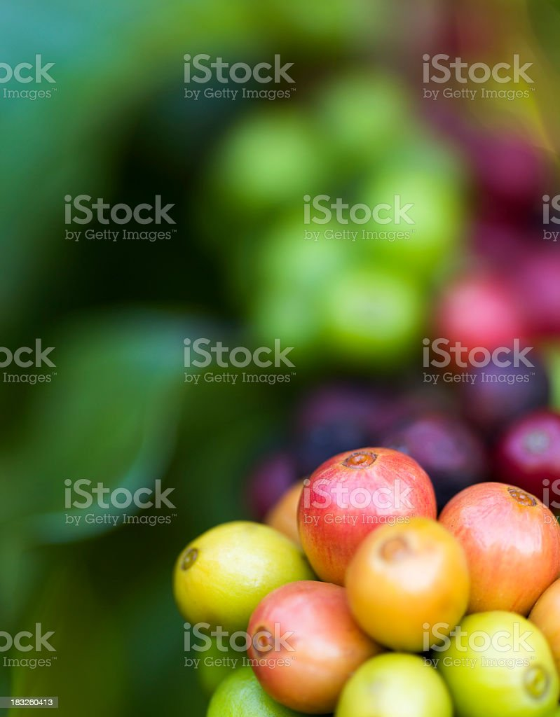 Shallow depth of field shot of ripening coffee cherries royalty-free stock photo