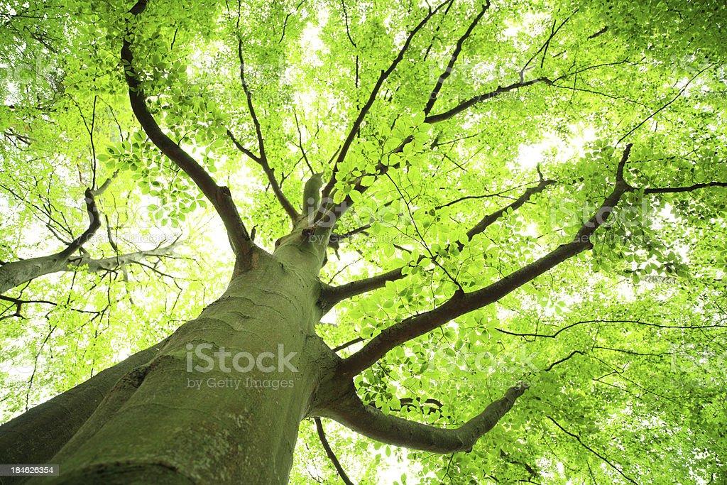 Shallow DOF - Green Tree Looking up stock photo