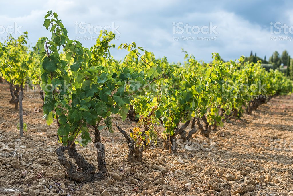 Shallow focus picture of a vineyard row full of grapes stock photo
