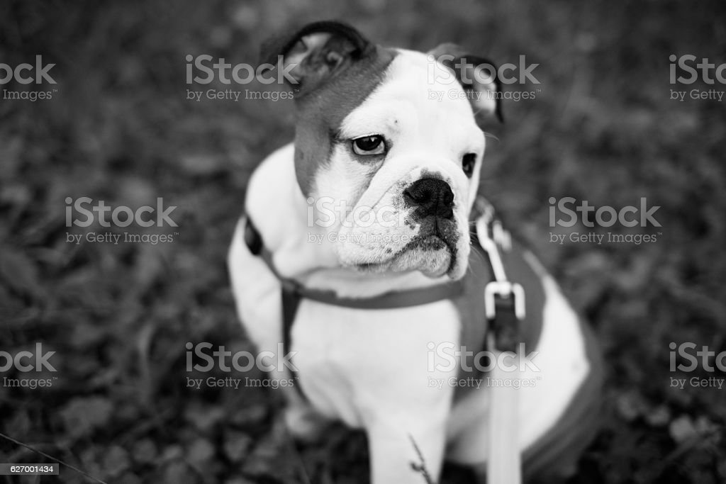 Shallow focus portrait of a bulldog in the park stock photo