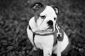 Shallow focus portrait of a bulldog in the park