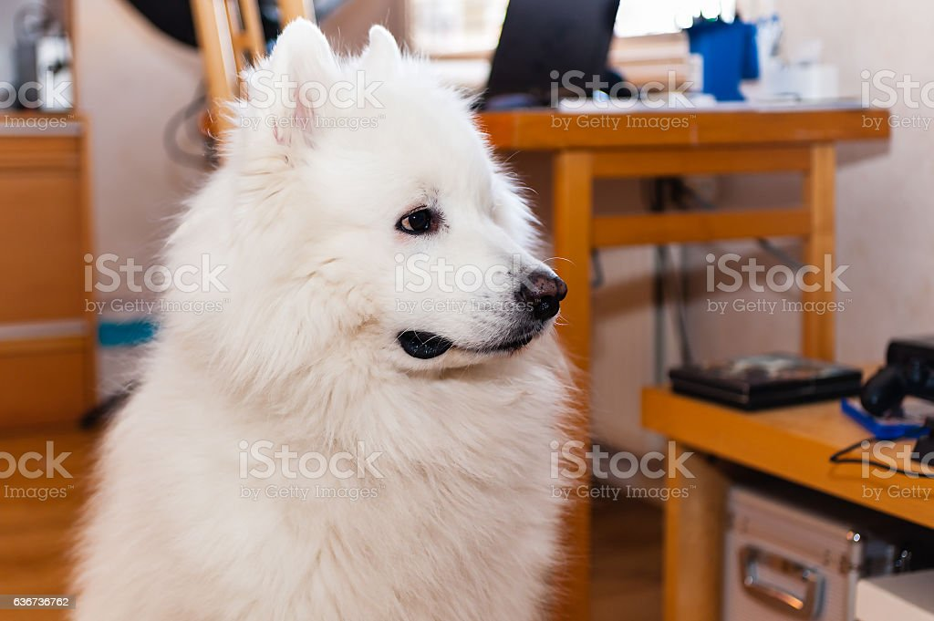 Shameful Samoyed dog looking away from you indoors. stock photo
