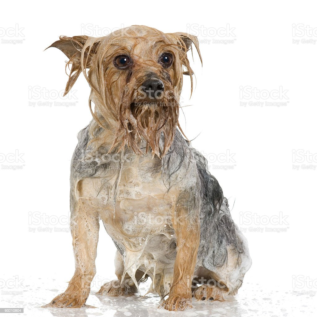 shampoo dog stock photo