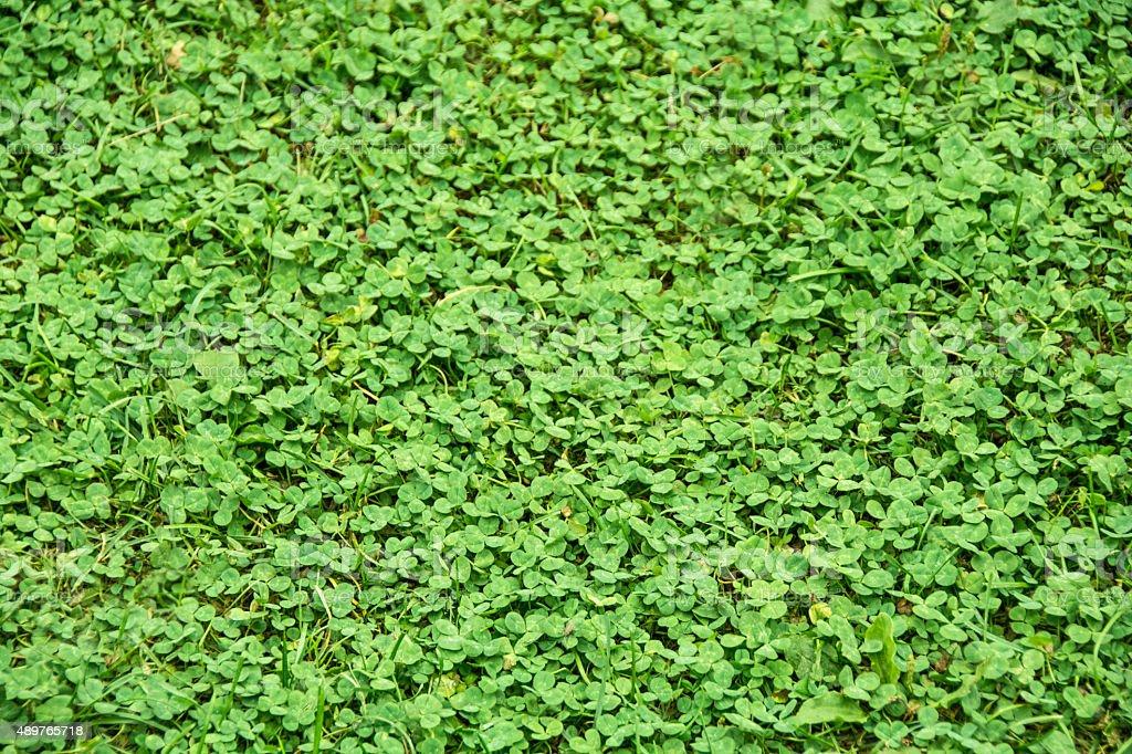 Shamrock clover patch- St. Patrick's Day Baackground stock photo