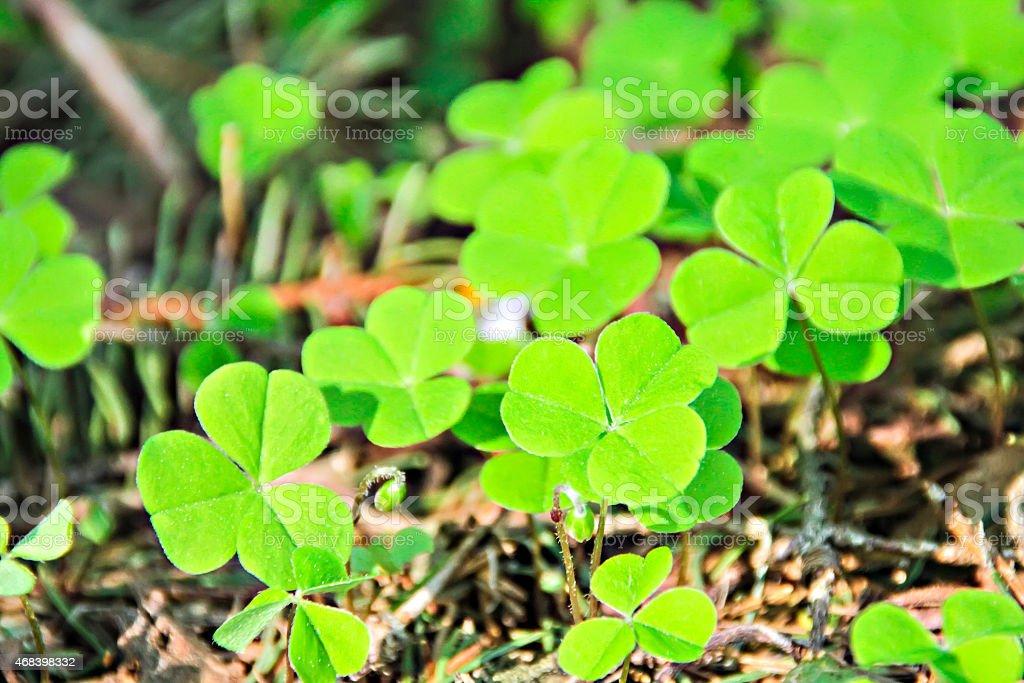 Shamrock clover stock photo