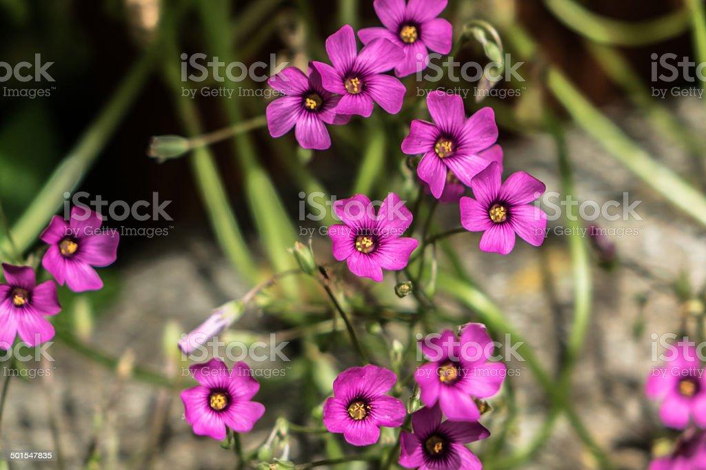 Shamrock Flowers stock photo