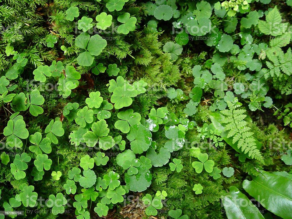 Shamrock nature stock photo