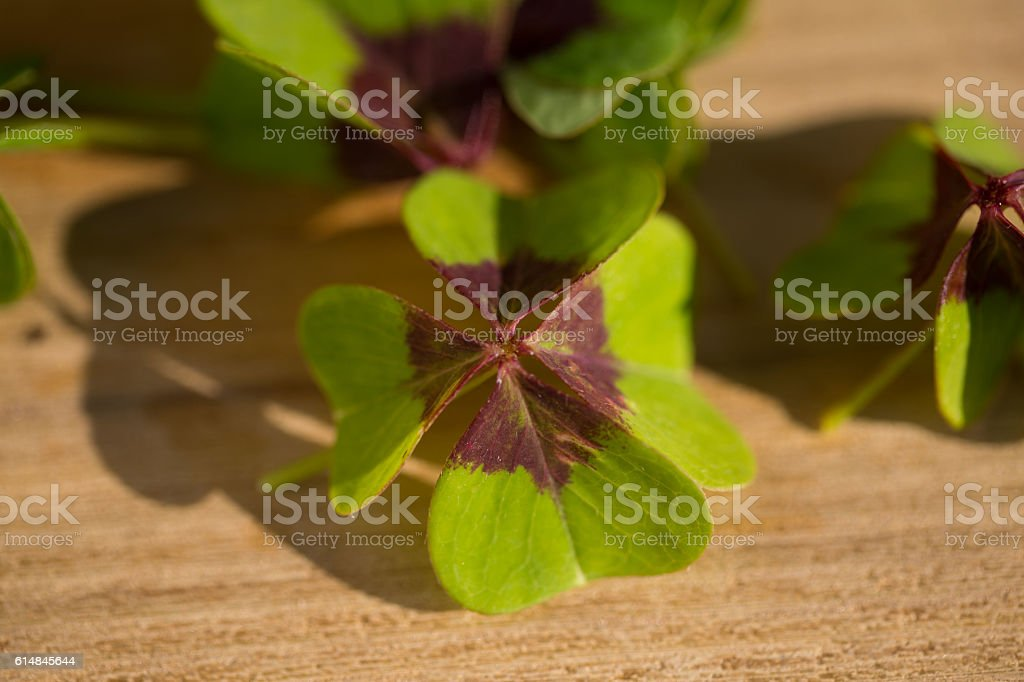shamrock on wooden table stock photo
