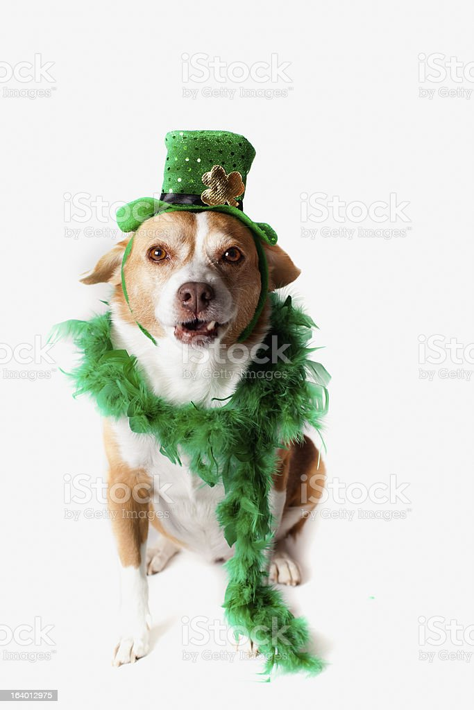 Shamrock Saint Patrick's Day dog royalty-free stock photo