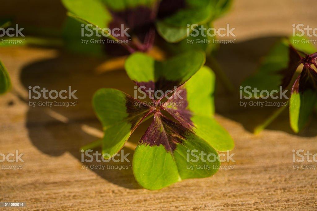 Shamrocks for good luck, on wooden background stock photo