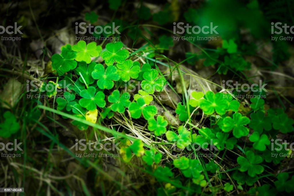 Shamrocks on the ground stock photo