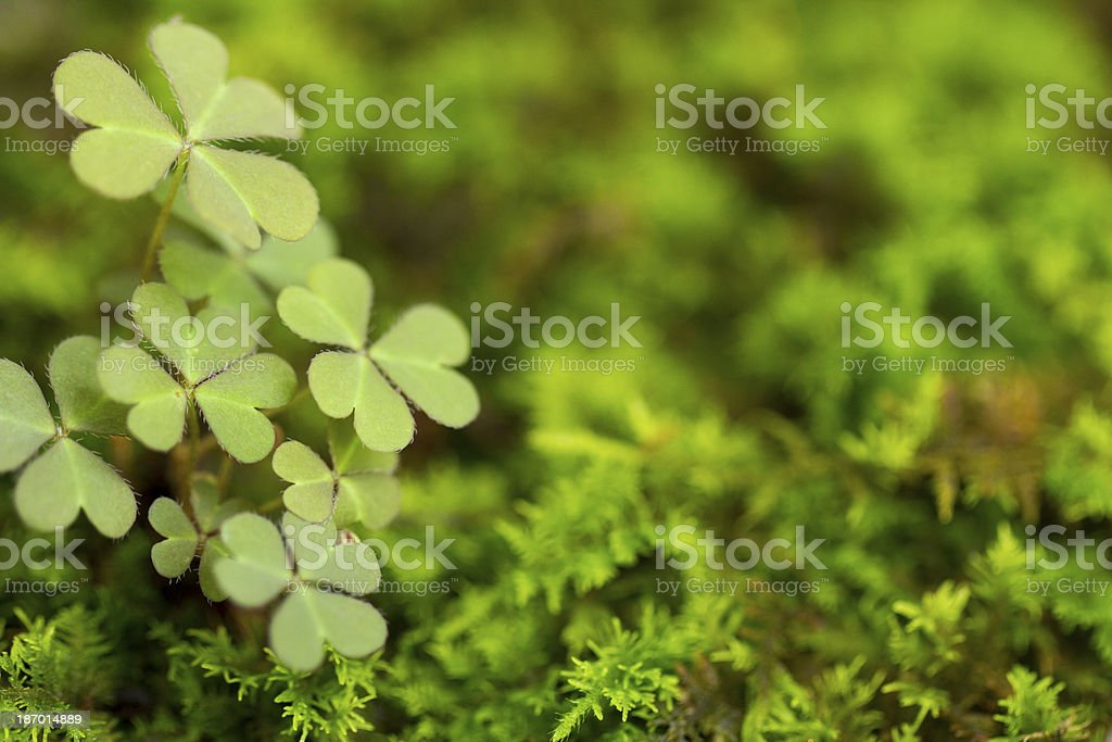 Shamrocks stock photo