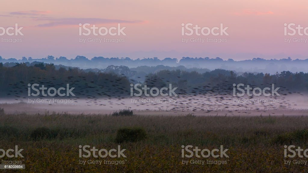 Shapwick Heath at dusk, with starling murmuration stock photo