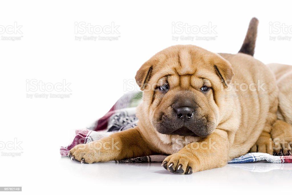 Shar Pei baby dog royalty-free stock photo