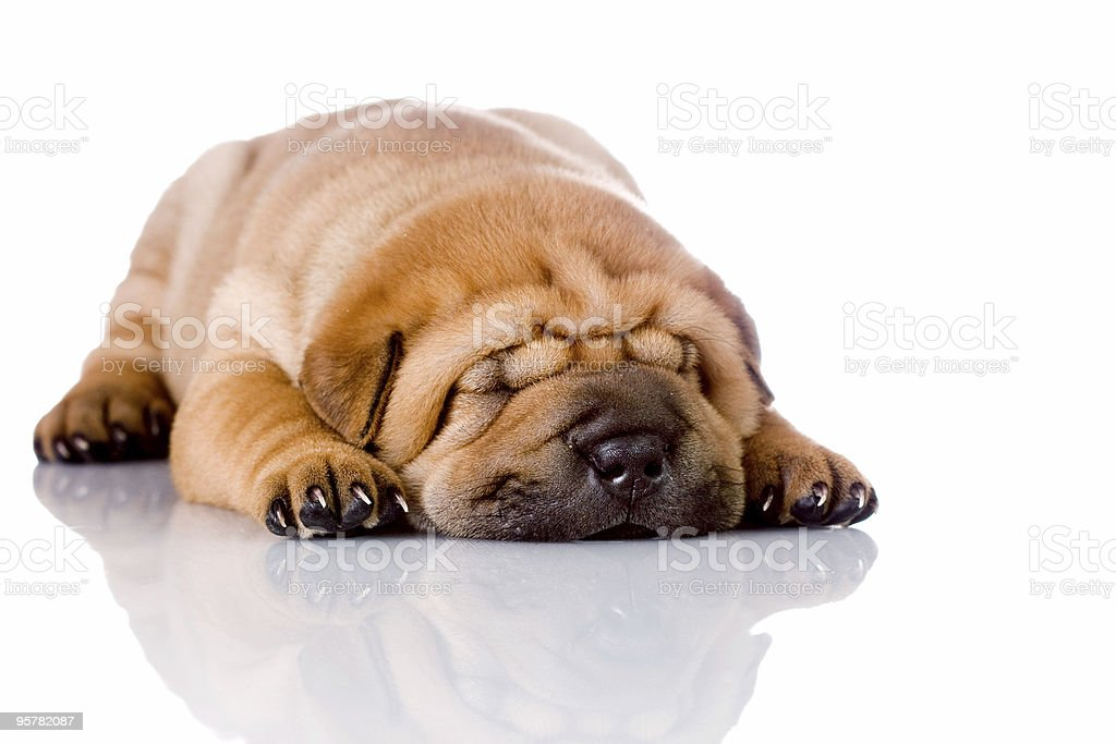 Shar Pei baby dog sleeping royalty-free stock photo
